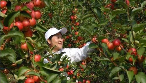 7万亩果树基地盛产金红苹果,李子,杏,梨,葡萄等果品,年产量在1.